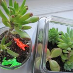 This is the same terrarium in 2010. I harvested some clippings from here to make my new terrarium.