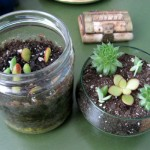 On the right is the new tiny terrarium I made with clippings and overgrowth from my older terrariums.  On the left is my incubator (of sorts) with recent clippings waiting to take root.