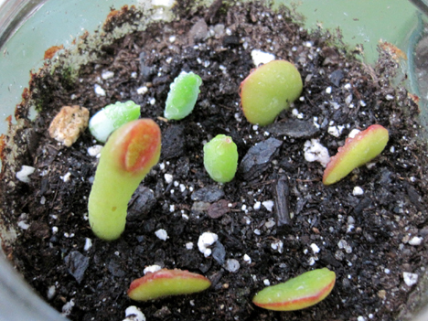 Place the clippings, broken side down, into damp cactus soil. Keep the soil damp for the first few weeks then allow it to dry out as per the usual watering cycle for succulents.